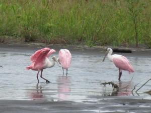 Spatole Rosate al Parco Tortuguero Costa Rica